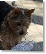 Cutest Dog Ever - Animal - 011311 Metal Print by DC Photographer