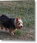 Cutest Dog Ever - Animal - 011345 Metal Print by DC Photographer
