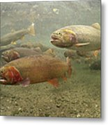 Cutthroat Trout In The Spring Idaho Metal Print by Michael Quinton