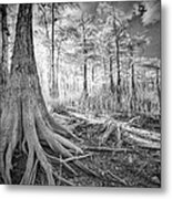 Cypress Roots In Big Cypress Metal Print