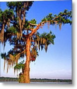 Cypress Tree Draped In Spanish Moss Metal Print