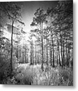 Cypress Trees In Big Cypress Metal Print