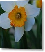 Daffodil Close Up Metal Print