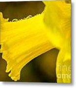 Daffodil Dewdrops Metal Print