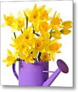 Daffodil Display Metal Print by Amanda Elwell