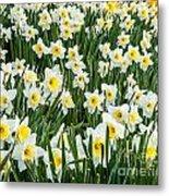 Daffodil Field 2 Metal Print