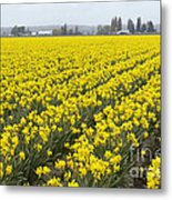 Daffodil Field Metal Print