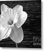 Daffodil Narcissus Flower Black And White Metal Print