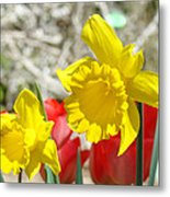 Daffodil Flowers Art Prints Spring Daffodils Red Tulip Garden Metal Print by Baslee Troutman