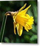 Daffodil - Impressions Metal Print