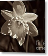 Daffodil In Black And White Metal Print