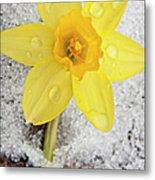 Daffodil In Spring Snow Metal Print