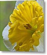 Daffodil Metal Print
