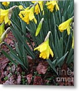 Daffodils In The Rain  Metal Print