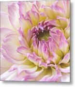 Dahlia Delight Square  Metal Print