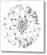 Dahlia Flower As Drawing In Black And White. Metal Print