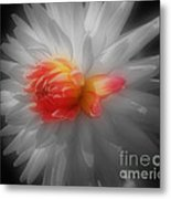 Dahlia Flower Beauty Metal Print