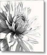 Dahlia Flower In Monochrome Metal Print