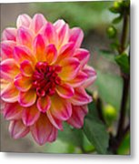 Dahlia In Full Bloom Metal Print