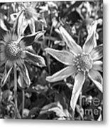 Dahlia Named Amy's Star Metal Print