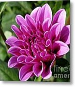 Dahlia Named Blue Bell Metal Print