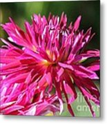 Dahlia Named Normandy Wild Willie Metal Print