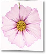 Dainty Pink Cosmos On White Background. Metal Print