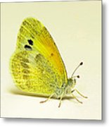 Dainty Sulphur Butterfly Metal Print
