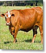 Dairy Cow Metal Print