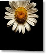 Daisies Are Not Flowers No Text Metal Print