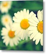Daisies Metal Print by Candice Trimble