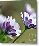 Daisies Seeking The Sunlight Metal Print