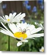 Daisies With Phalangiid Vistitor Metal Print