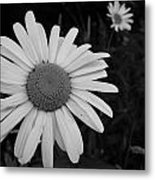 Daisy At Night Metal Print