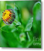 Daisy Bud Ready To Bloom Metal Print