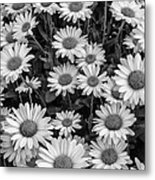 Daisy Cluster Vermont Flowers In Black And White Metal Print