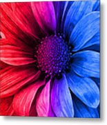 Daisy Daisy Red To Blue Metal Print