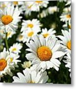 Daisy Day Metal Print