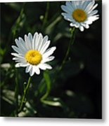 Daisy Days Metal Print