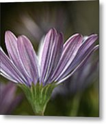 Daisy Delight Metal Print