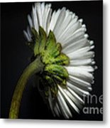 Daisy Flower Metal Print