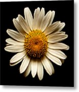 Daisy On Black Square Metal Print
