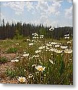 Daisy Patch Metal Print