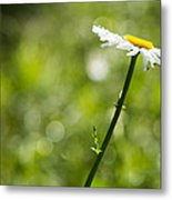 Daisy Profile Metal Print