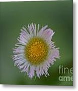 Daisy Weed Series Photo A Metal Print