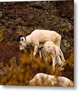 Dall Sheep Grazing Metal Print