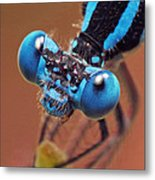 Damselfly Metal Print by Walter Klockers