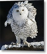 Dance Of Glory - Snowy Owl Metal Print