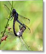 Dance Of The Dragonfliesd Metal Print