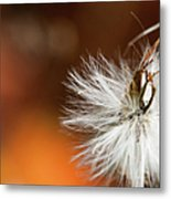 Dandelion Seed Head And Fall Color Background Metal Print
